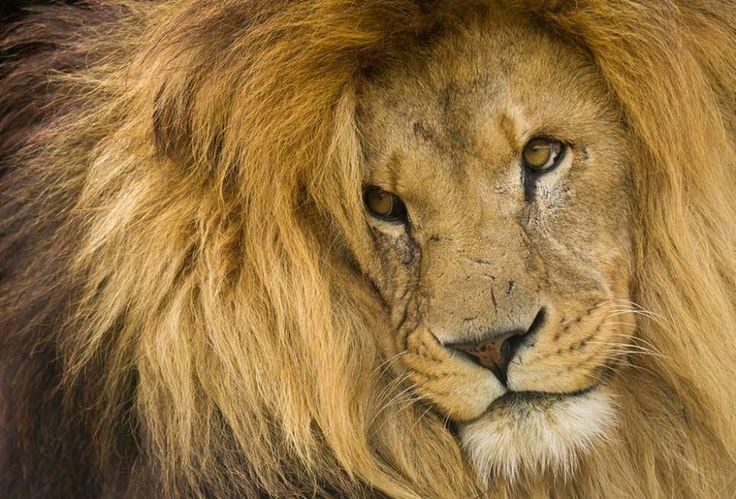 * А вы знали, что чем темнее и объёмнее грива, тем популярнее лев среди самок...???