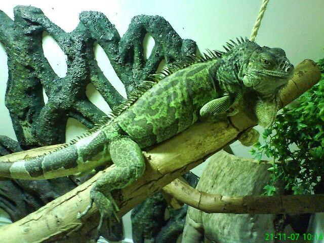 31 Best Rhinoceros Green Iguana Images On Pinterest