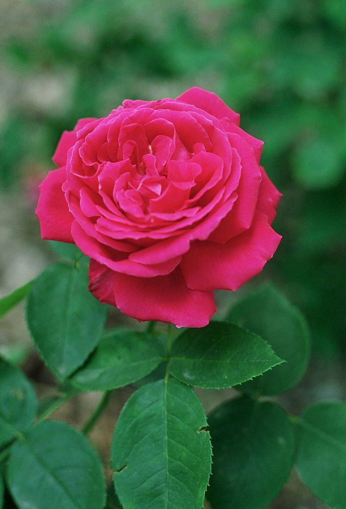 Rosa 'Tom Wood', Híbridos reflorecientes, sect. Rosa. Real Jardín Botánico, Madrid