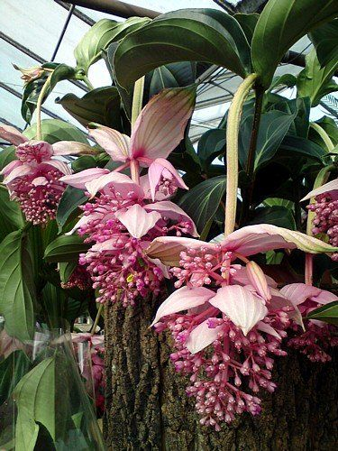 9 best images about medinilla magnifica on pinterest 7 uncommon indoor plants