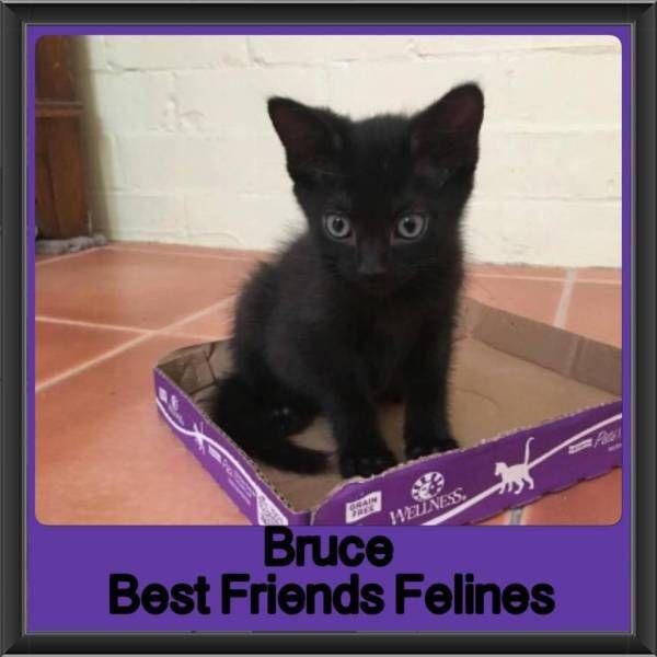 Bruce Best Friends Felines Cats Kittens Gumtree Australia Brisbane South East Wynnum 1173124776 Cats And Kittens Cats Cat Cuddle