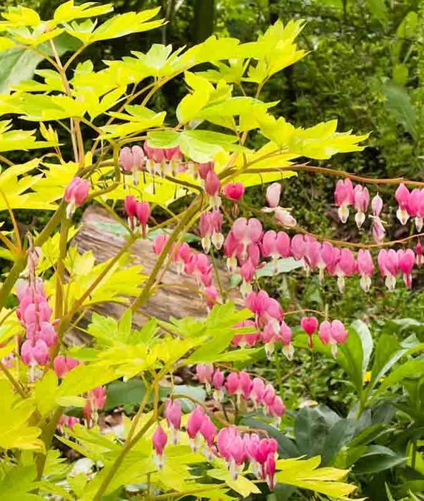 Noted For Its Brilliant Gold Leaves And Peach Colored Stems Dicentra Spectabilis Gold Heart B Bleeding Heart Bleeding Heart Flower Flower Stock Photography