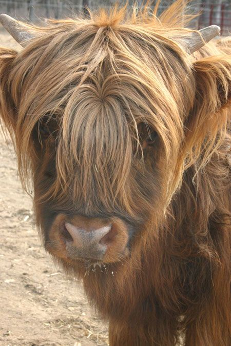 Scottish Highland Cattle - This is what my hair looks like now while I'm trying to grow it out!
