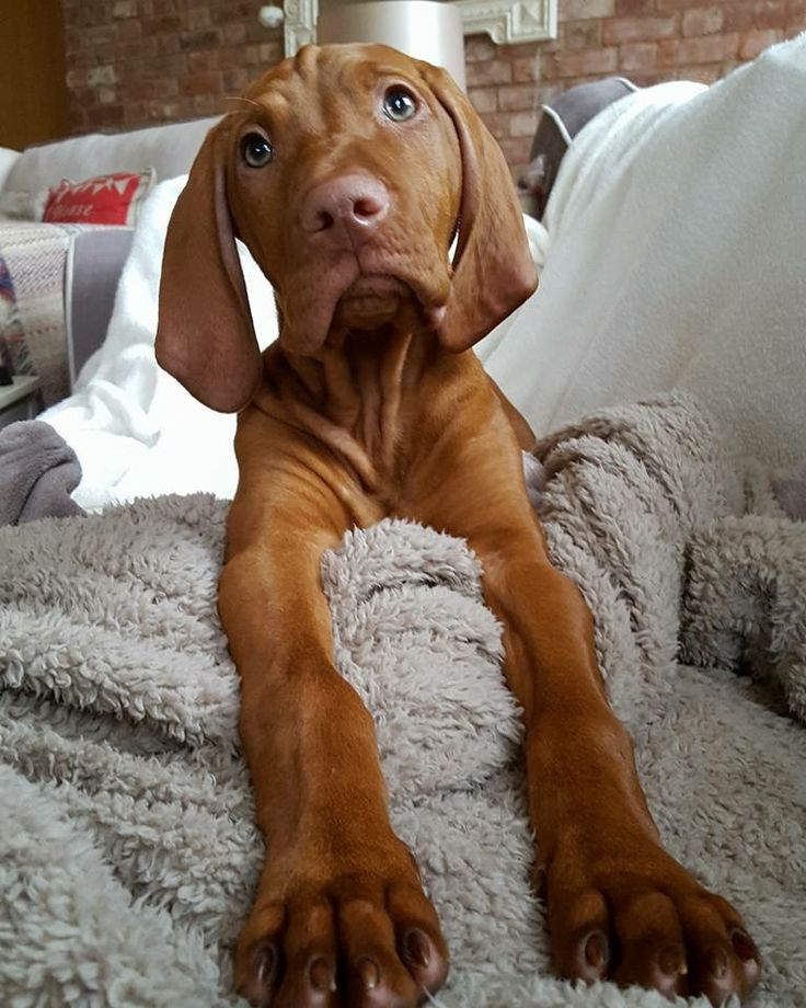 Hungarian Vizsla Dog Lovers! look no further! We have the best range of Dog, Cat & Animal pillows & cushion without doubt!  Cushion Co // KaufmannsPuppyTraining.com // Kaufmann's Puppy Training // dog training // dog love // puppy love //