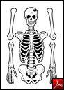 Skelett - Unga Fakta