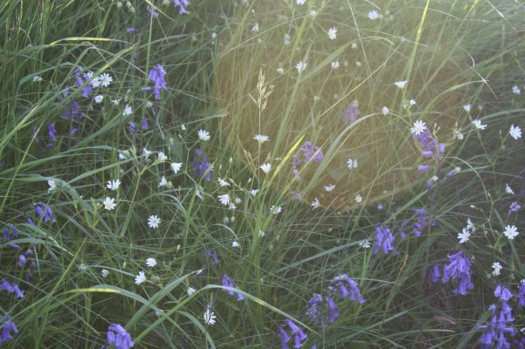 Primary image- welsh wild flower