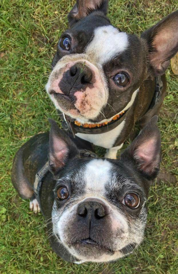 Boston Terriers.                                                                                                                                                                                 More