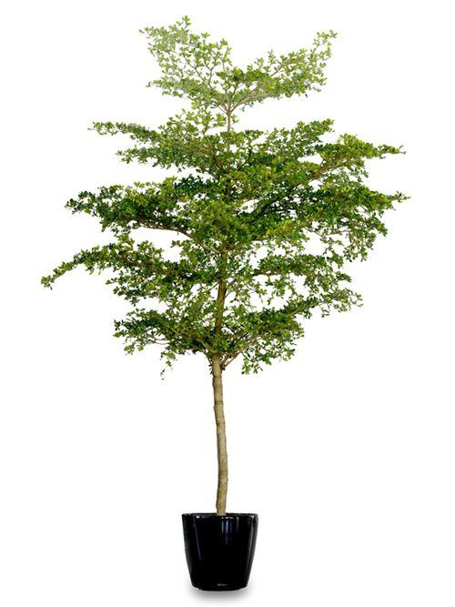 Bucida Árbol de rápido crecimiento de 10m. a 15m. de altura y diámetro promedio de 21 cm. Puediendo alcanzar hasta los 0.40m. Es de copa densa y follaje siempre verde. Produce flores de color blanco verdusco dispuestas en espigas. Ornamental y como árbol de sombra. Su madera es atractiva por el color que va de marrón amarillento a marrón verdusco, de la cual, en una superficie se puede obtener un acabado reflejante como el vidrio.