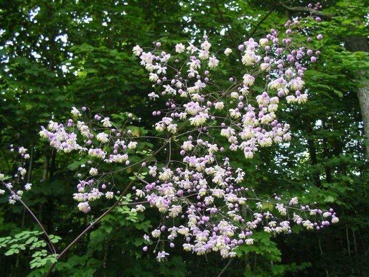 Thalictrum delavayi or rochebrunianum? + pcs