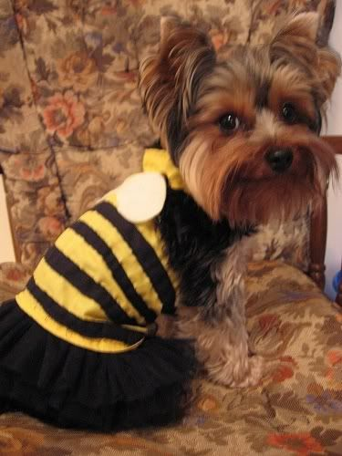 diy bee halloween costume for dogs this is way cute i wish my puppy would - Wish Halloween Costumes