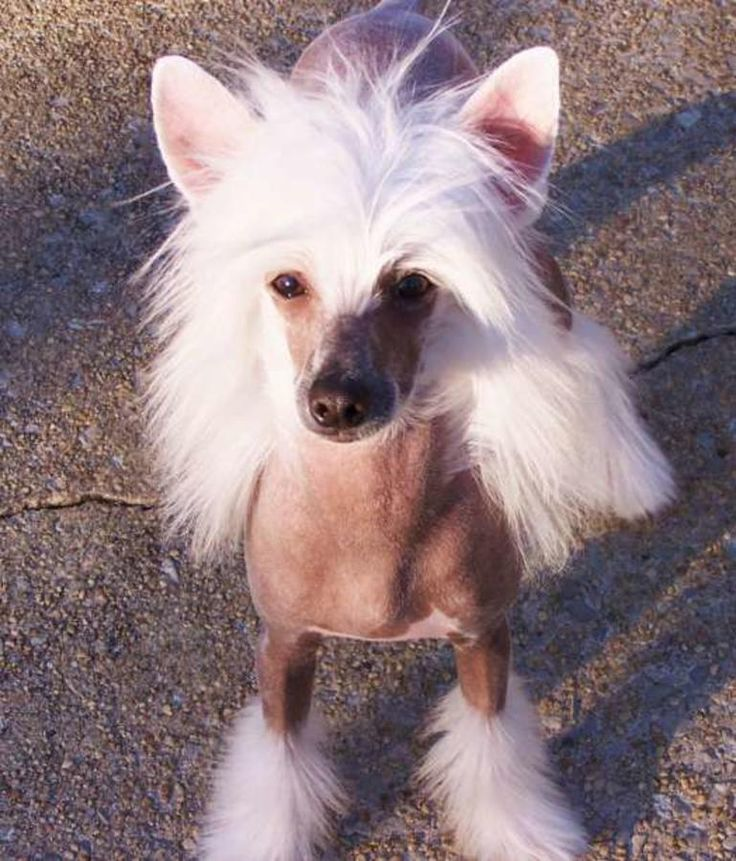 Akc Champion Chinese Crested in - Hoobly Classifieds