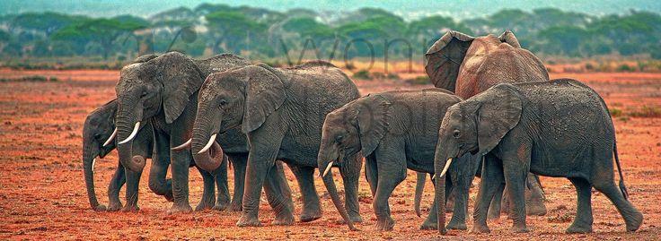 Kenia - Park Narodowy Amboseli - Słonie