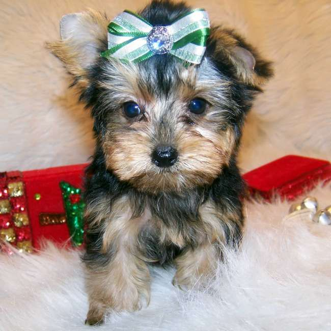 Teacup maltipoo puppies for sale in Mississippi USA