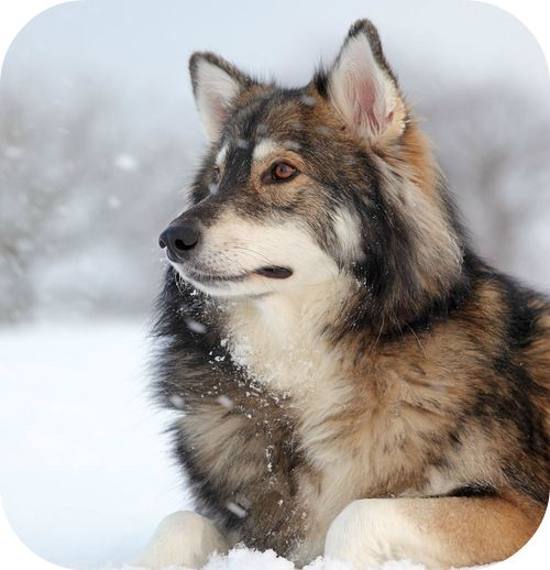 Atticus- Yukon Wolf, Male, 2 years and 6 months