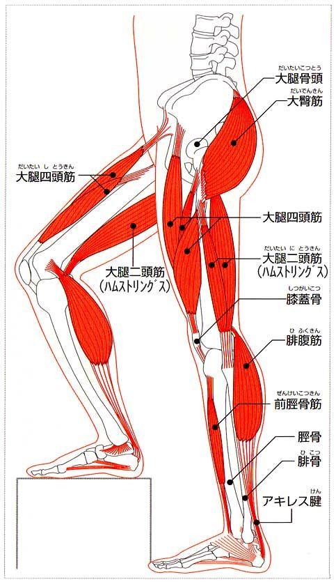 図解:腰・お尻・足の主な筋肉・名称