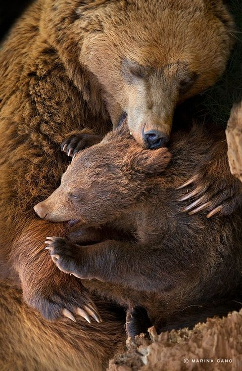 Mama and baby bear biting each other simutaniously- how cute is this.
