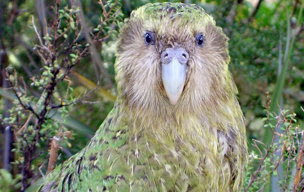 23 Things You Didn't Know About The Flightless Parrot Facing Extinction