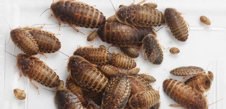 Dubia-kakerlakken er det billigste foderinsekt!