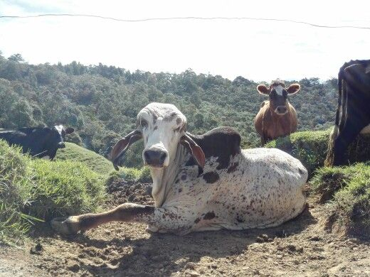Un toro gyr en Santa Elena.