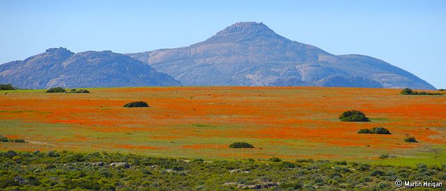 Namaqualand – South Africa's Daisy Sensation Namaqualand is dry for most of the year, an arid almost desert landscape which extends along South Africa's western coast for 600 miles. Yet when the rains are good, something like a miracle happens.  Water, the driving force of all nature, soaks in to the parched earth.  An uncountable host of flowers materialize as if from nowhere, creating an extraordinary eruption of color, transforming the countryside and dazzling the eye.
