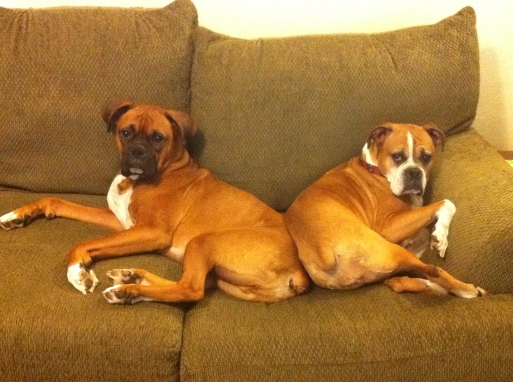 The one on the left looks just like Roxy!!! I love boxers! I knew we should of got another one :(Boxers Rottweilers, Marley Girls, Friends Aka, Soooo True, Love Thy Pictures, Boxers Pictures, Boxers Love Thy, Aka Pets, Dogs Baby