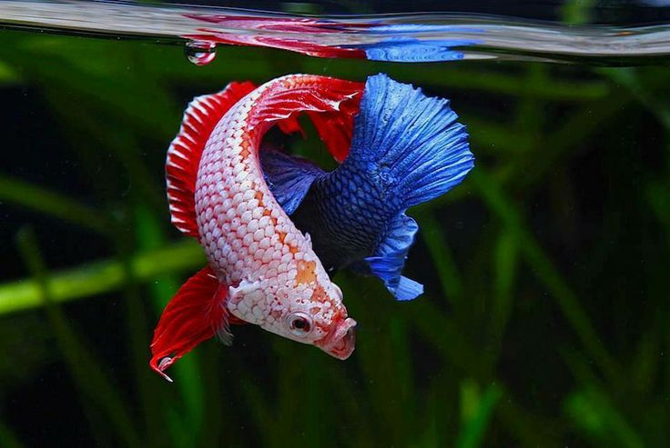 17 best images about betta fish on pinterest beautiful for Feeding betta fish