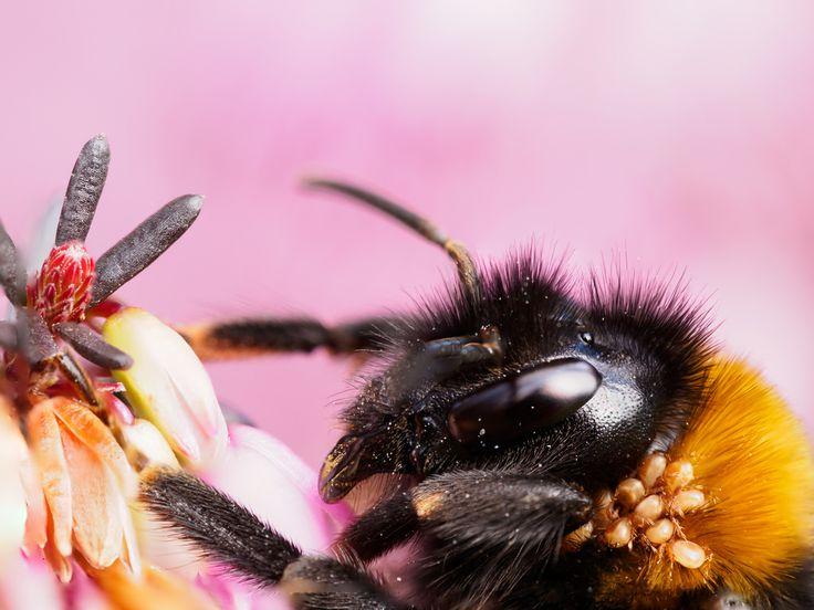 Zur Zeit sind bei Sonnenschein sehr viele Hummeln unterwegs, um genau zu sein sind alle Königinnen. Sie kommen im Frühjahr aus ihren Erdnestern um erste Nahrung zu suchen. Oft sind sie von Milben befallen, so wie auch diese hier. Ob sie den Königinnen schaden weiß man nicht genau. Einerseits geht man davon aus dass sie sich vom Kot der Hummel ernähren und so das Nest sauber halten, andererseits sind manche Tiere so stark befallen, dass sie die Flügel nicht mehr richtig nutzen können und…
