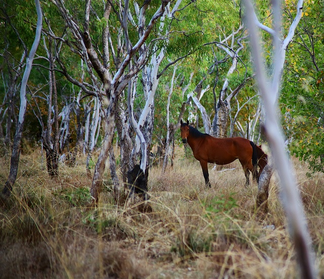 Brumby, a free-roaming feral horse in Australia. Brumbies have been captured, fitted with GPS tracking collars, and used in extensive comparative research into the effect of terrain on the morphology and health of different horses' hooves.
