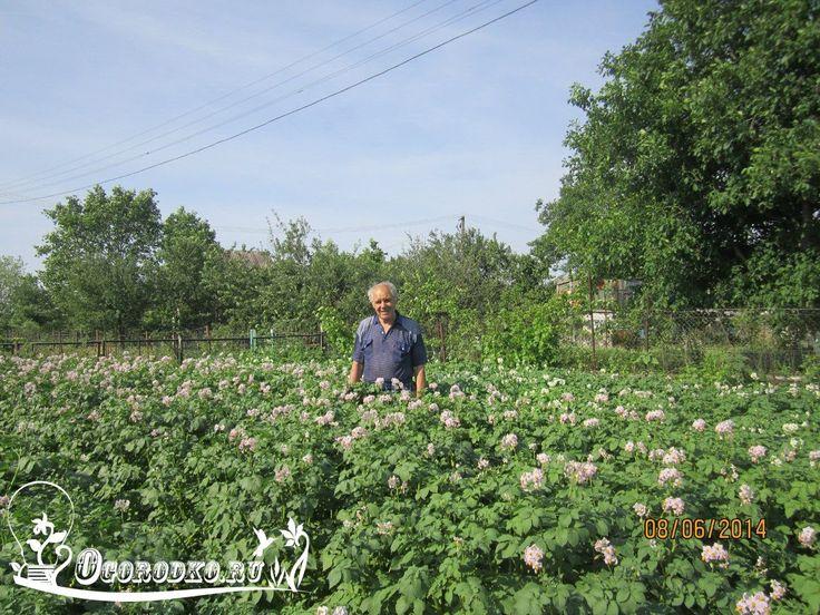 """Секреты выращивания картофеля    1. Если ваш огород расположен в местности с сухим климатом, картошку лучше сажать поглубже (минимальная глубина - на штык лопаты) и попросторней, соблюдая дистанцию между посадками 70 см. Клубень должен быть крупным и хорошо проросшим. Землю непременно необходимо удобрить золой, компостом, навозом. Таким образом у вас отпадет надобность в окучиваниях. Конечно, рыхления и прополки нужны, но поливать при этом придется 2-3 раза за сезон.    2. Сорт """"Удача""""…"""
