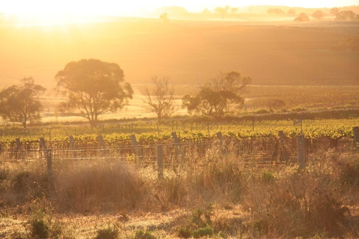 A beautiful sunrise in the Taylors Clare Valley vineyard.