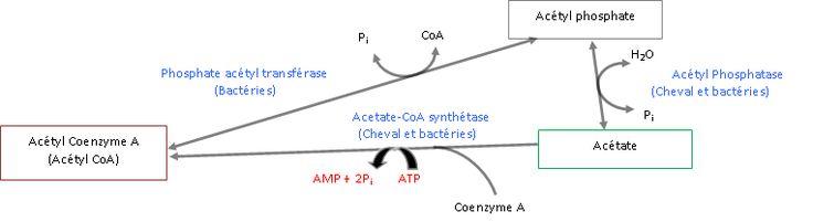 Les deux points de vue métaboliques sur l'acide acétique