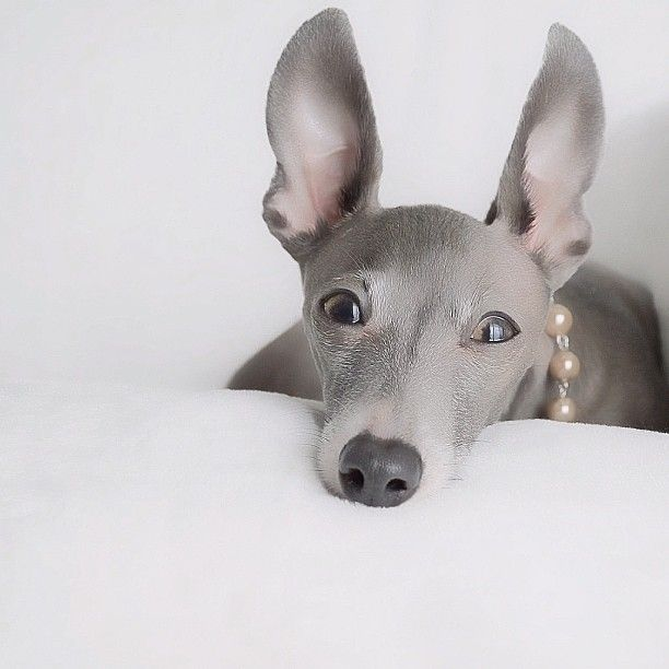 Italian Greyhound. Best dogs ever. :D hoping to adopt one in the near future!