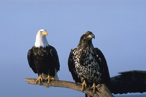 The American Bald Eagle is not endangered anymore but is still a protected species.   http://www.alaska-in-pictures.com/data/media/4/mature-and-immature-bald-eagles_886.jpg