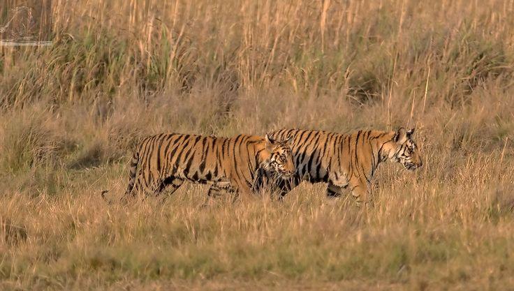 Bandhavgarh 039 - Bengal Tiger cubs - Bandhavgarh, India…