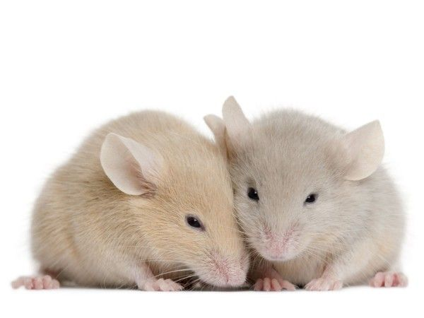 Century-old drug reverses signs of autism in mice - A single dose of a century-old drug has eliminated autism symptoms in adult mice with an experimental form of the disorder.