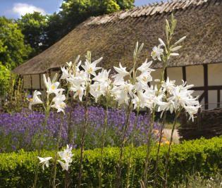 Madonnaliljer i haven ved Dannemarehuset