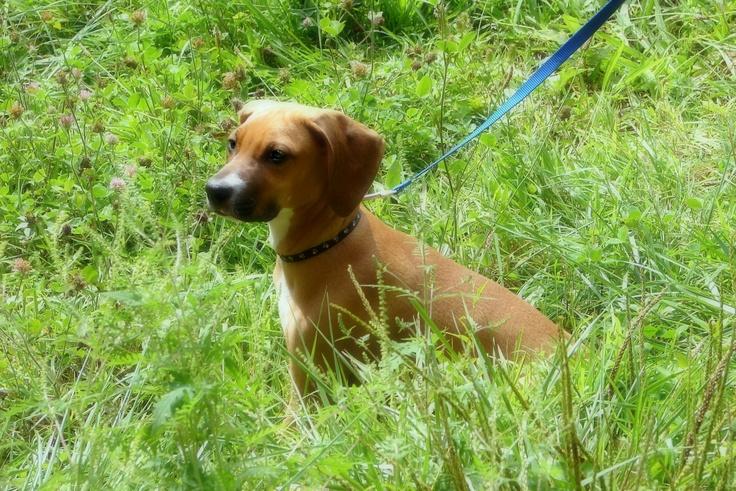 Redbone coonhound boxer mix puppy