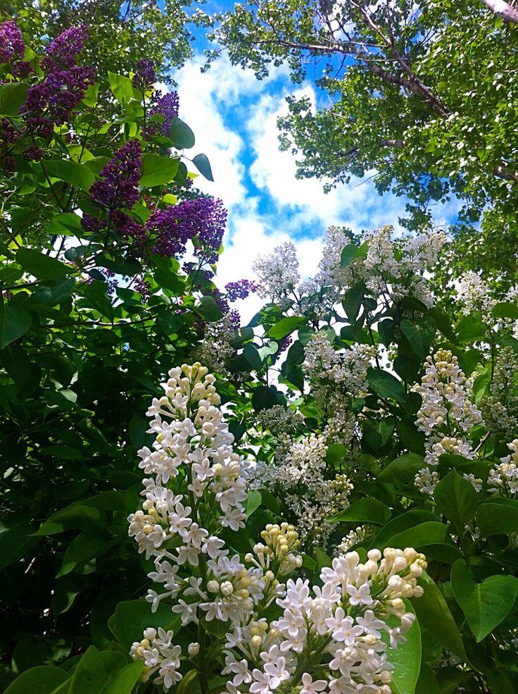 Syreeni lilac