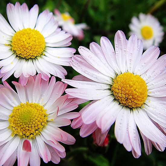 Three white and pink daisies, available as iphone cases #daisy #daisies #iphonecase #cases #fotosbykarin #Redbubble