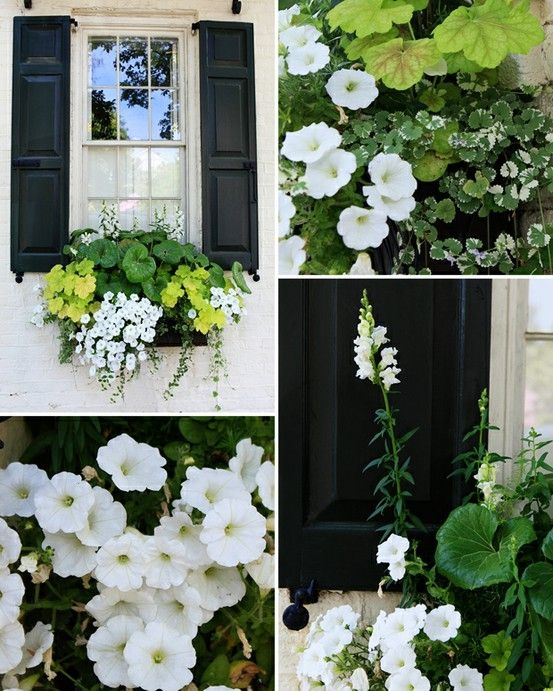 I love black shutters with black window boxes and offsetting them with soft white and green leaves and flowers.