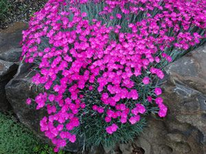 Dianthus 'Fireworks'  easy to grow Drought Tolerant Ground Cover   In late spring, hundreds of shocking magenta pink flowers contrast against evergreen silvery blue foliage. Flowers will often repeat again later in the summer when the weather turns cool.