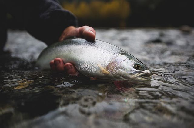 Amazing trout fishing all year round 4 species of salmon steelhead sea run bulls and more. Any day is a good day to be on the Pitt river. Book now #Vancouver #flyfishing #adventure #catchandrelease