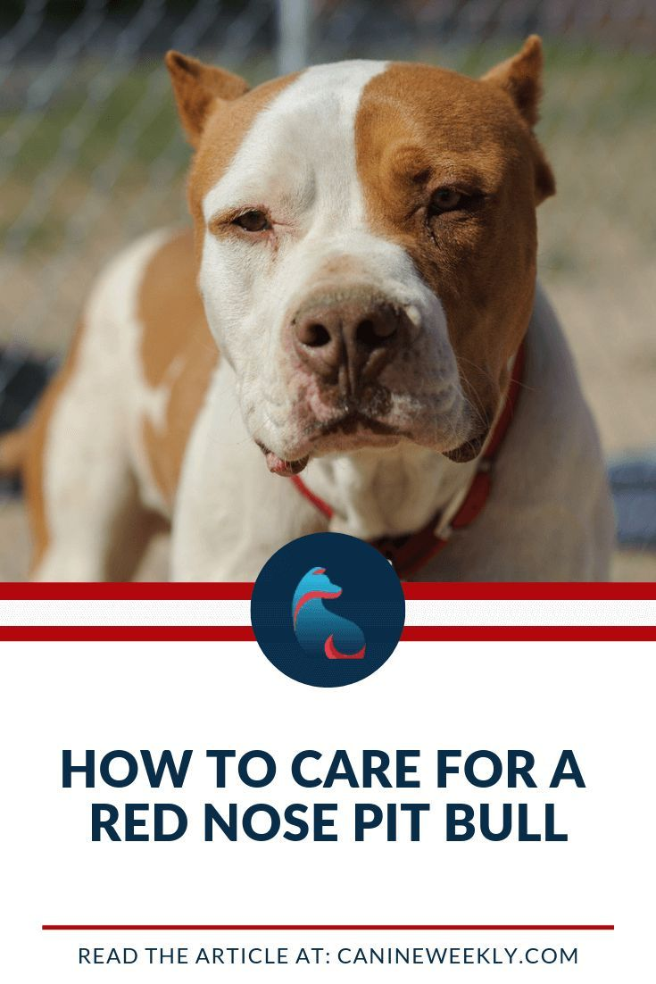 Red Nose Pitbull Breed Facts History And Differences Pitbulls