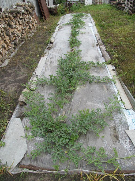 11 килограммов арбузного счастья Многие садоводы и огородники пробуют выращивать на своих приусадебных участках арбузы, однако хорошие урожаи и крупные плоды удаются редким дачникам. Широко рас…