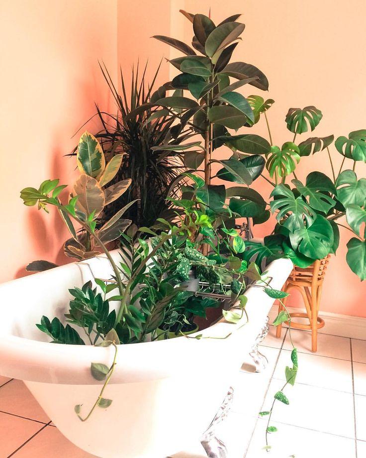 Save water, bathe together 😘 Its Sunday already which means it's Sunday night pool party time again. My fave time of the week 🌱♥️ . . . . . . . #jungalowstyle #jungalow #houseplant #houseplantclub #plantsonpink #houseplants #urbanjungle #urbanjunglebloggers #ihavethisthingwithurbanjungles #indoorjungle #indoorplants #prickleandvine #plants #plantsofinstagram #monstera #monsteramonday #monsteradeliciosa #zzplant #ficuselastica #silverpothos #myhomevibe #interiorinspo #iloveplants…