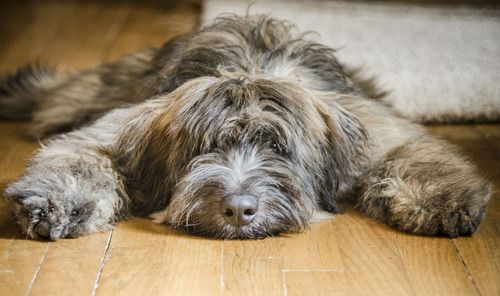 Bouvier, aka floor rug.