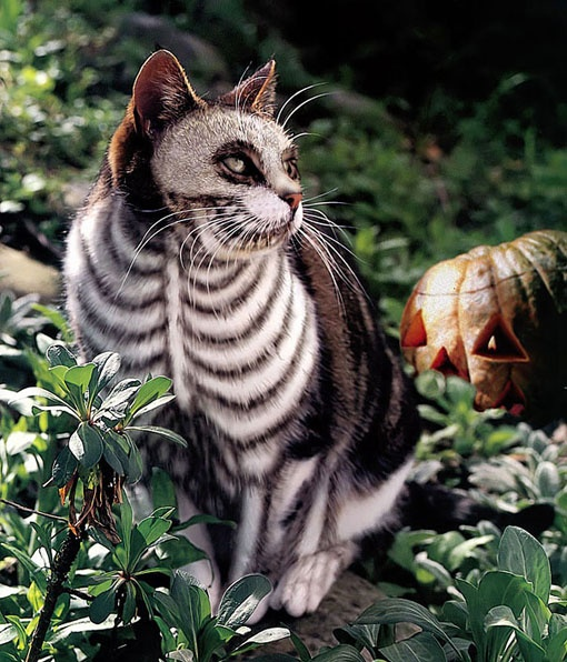 : Cats, Animals, Skeleton Cat, Stuff, Pet, Skeletons, Costume, Kitty, Halloween Cat