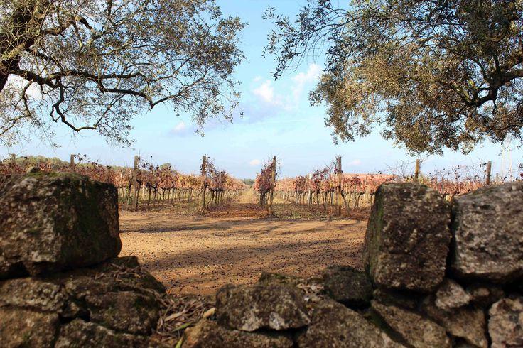 Among our #vineyards. #Puglia #Apulia #Italia #Italy #vino #wein #vinho #wine #winelovers. San Marzano Cantine