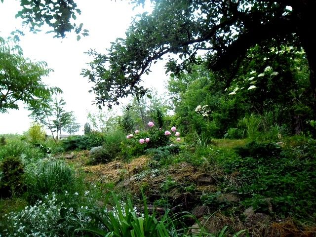 garden - peonia