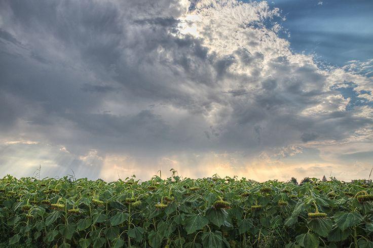 Wilting sunflowers under a stormy sky